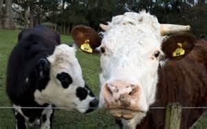 'Continued Existence of Cows Disproves Central Tenets of
